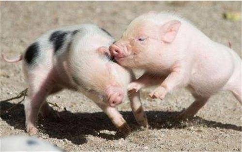母猪的发情规律有哪些?怎么鉴定母猪发情(3)