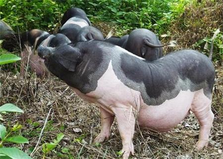 生猪得了口蹄疫怎么办?猪口蹄疫的实用治疗方法!