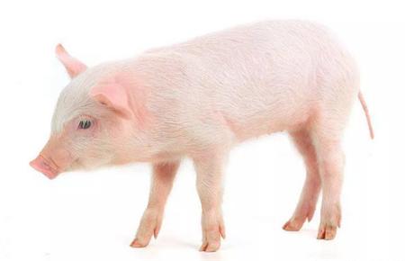 中国养猪网每日简评-今日生猪均价微弱上涨,部分上涨省份略有下调
