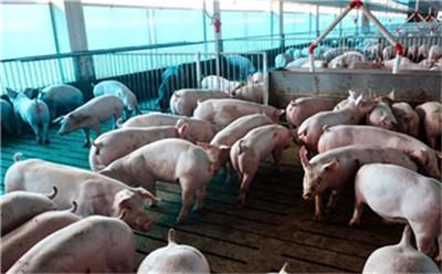 刚购买的猪苗应怎样饲养管理?生长肥育猪为什么要进行驱虫?