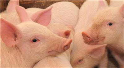 猪病治不好?原来猪在吃药期间也有这些忌口