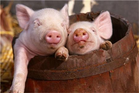 国内猪市一片赤红之际,局部地区猪价却走向低谷?