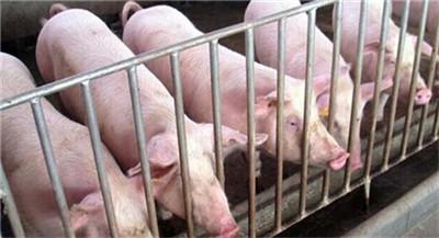 真的吗?美国宣称研发出非洲猪瘟疫苗,保护率100%