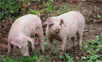 生猪市场继续小幅震荡,高、低价区域价差已达15元/公斤!
