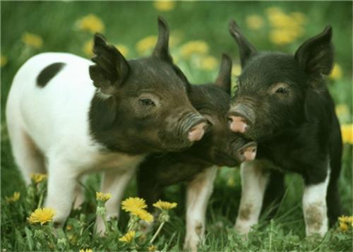 猪价岌岌可危,肉价难下神坛,该扇谁的耳光?