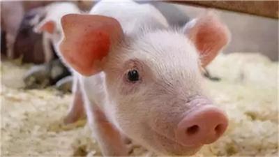 猪病诊断分析:母猪产出来的小猪大部分的要死不活?