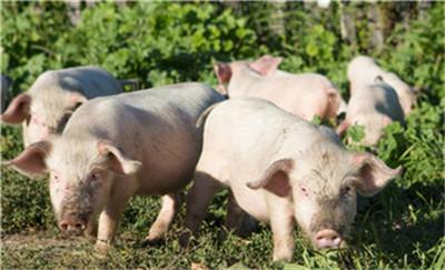 杨振海:11月份全国生猪存栏环比增长2% 首次探底回升!