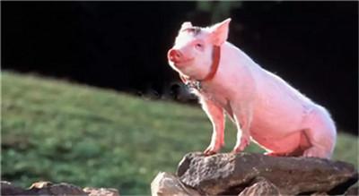 国内生猪价格震荡调整,仔猪价格依旧持续走跌!
