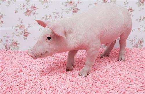 猪价上涨得警惕,看涨后市多半会后悔!