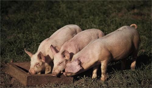 低聚木糖与酸化剂合用提高断奶仔猪生产性能