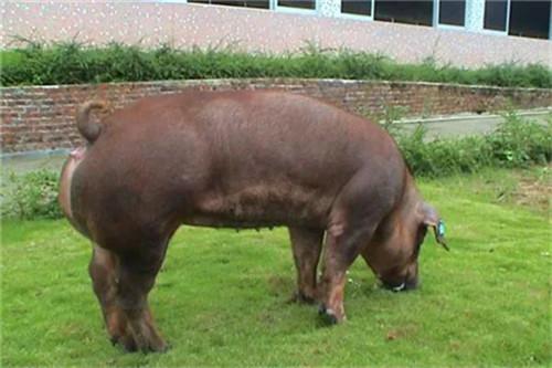 猪回肠炎怎么办?猪回肠炎的防控策略