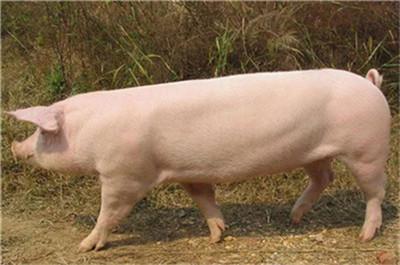 分娩母猪采食问题,直接决定了仔猪的成活率,不容忽视
