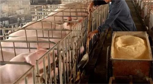 常见的易使猪中毒的饲料有哪些?(2)