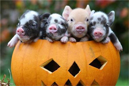 猪消化道疾病的类型与特点(1)