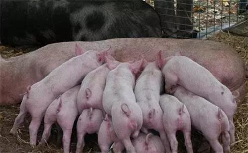 妊娠母猪怎么管理?妊娠管理指南 (连载12)
