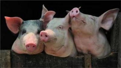 猪为什么会咳嗽呢,都有什么办法治疗?