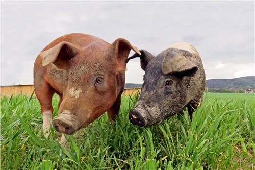 浅论猪疾病治疗诊断及方法
