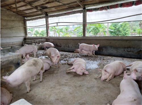 三元母猪难产原因及解决办法