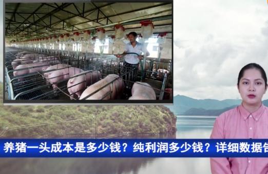 养猪一头成本是多少钱?纯利润多少钱?详细数据告诉你!