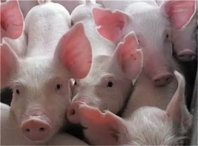 四川:积极为年出栏5000头以上生猪养殖场提供融资担保服务