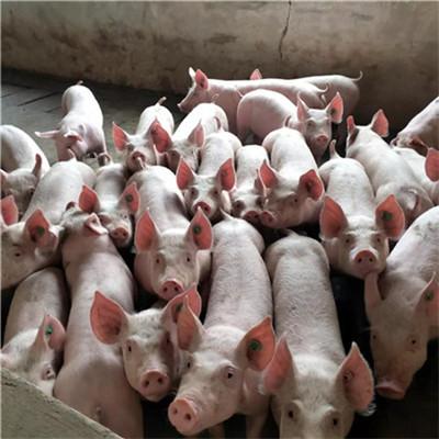 巨头借钱养猪!超级猪周期还没完?