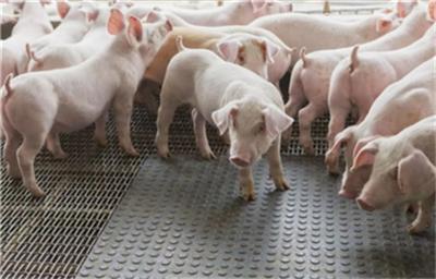 匈牙利贝凯什州发生一起非洲猪瘟疫情!