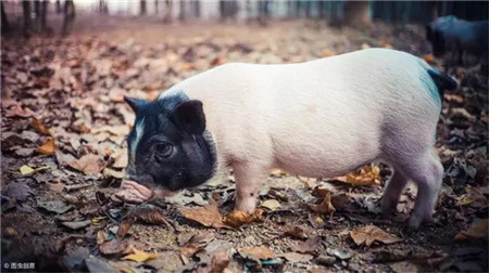 青海省预计明年生猪出栏规模将恢复到100万头