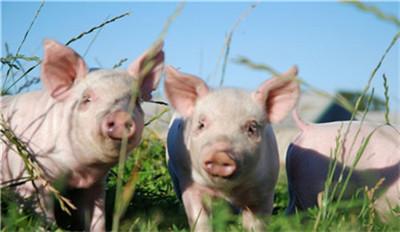 海关总署:要求做好扩大猪肉进口工作!