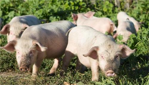 猪肉价格扰动中国物价 中央定调明年生猪工作