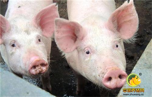 条件成熟需求强烈,监管层频频释放推出生猪期货信号