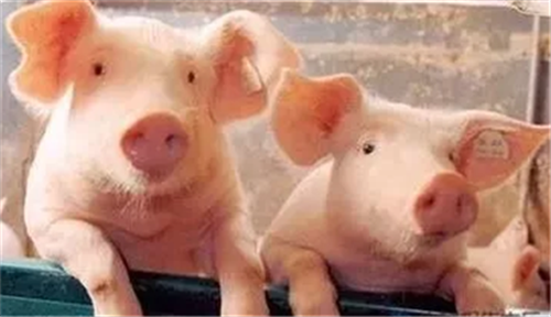 湖北猪肉价格连续4周下降 生猪产能连续6周回升