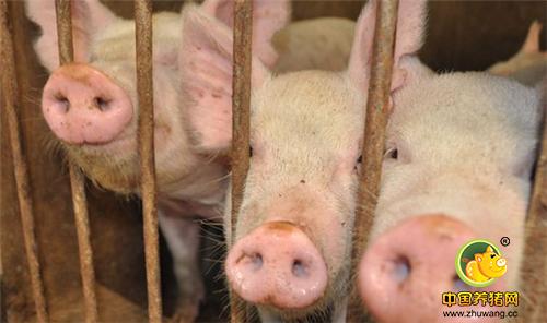 生猪市场呈现小幅回落的态势,切勿恐慌性抛售!