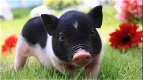 养猪如何做到低成本高效率?(1)