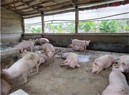 养猪如何做到低成本高效率?(2)