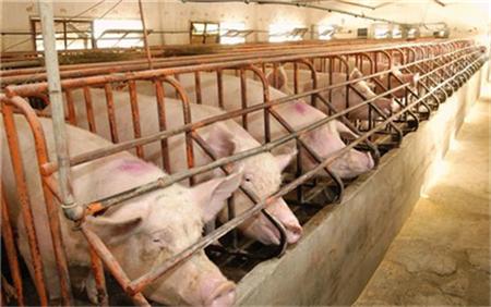 小麦替代玉米喂猪方法,有什么优点?(1)