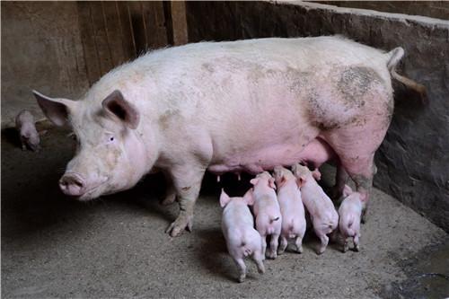 选择猪饲料原料的注意事项