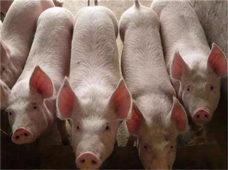 猪主要传染病的药物治疗与药物预防(5)