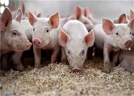 中小型猪场怎么做批次化管理?简明十步法介绍