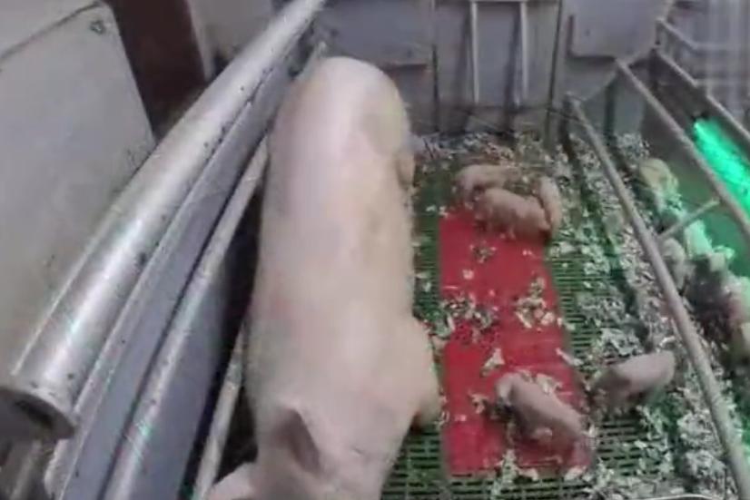 猪饲料不用花钱买,在家就能自制,猪长得又快又壮