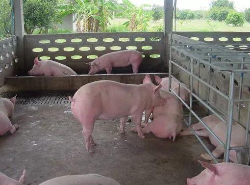 精准营养 | 后备母猪的营养与饲养管理