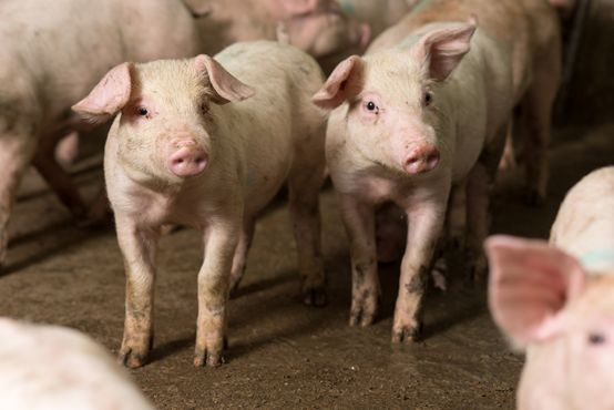 真实案例 | 普境安助力陕西猪场复养成功!