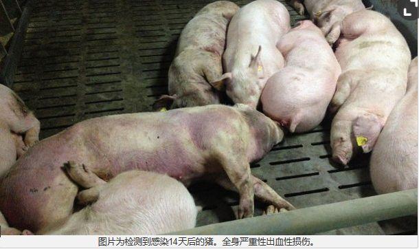 现场鉴别非洲猪瘟的要点(高清图)