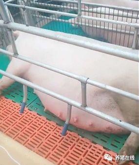 妊娠母猪的保胎技术要点,这些细节都要注意