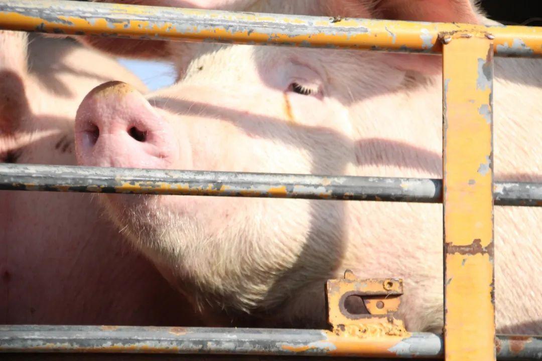 """难!广东工友说大口吃肉不容易,猪价下跌背后的""""反抗式消费"""""""