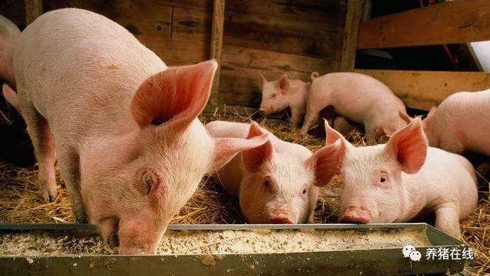 猪咳嗽应该如何去治疗呢,你知道吗