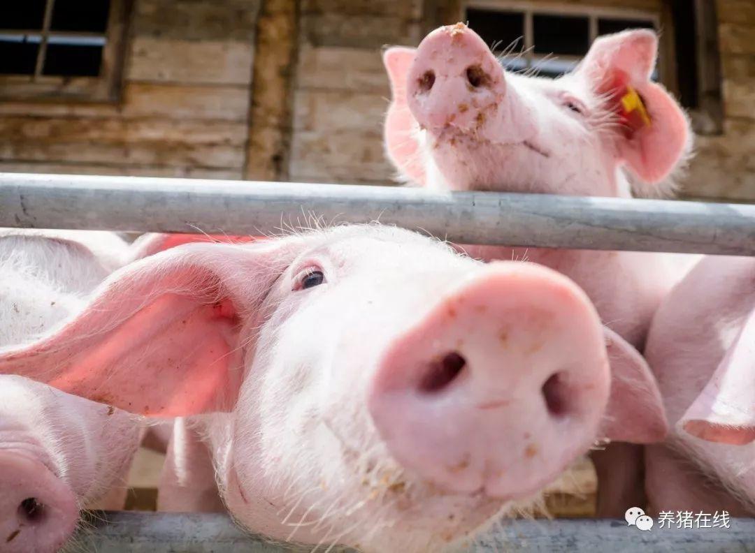 实用!防止产后母猪撕咬仔猪的十大措施!
