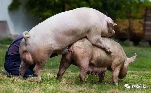 母猪不发情有高招!