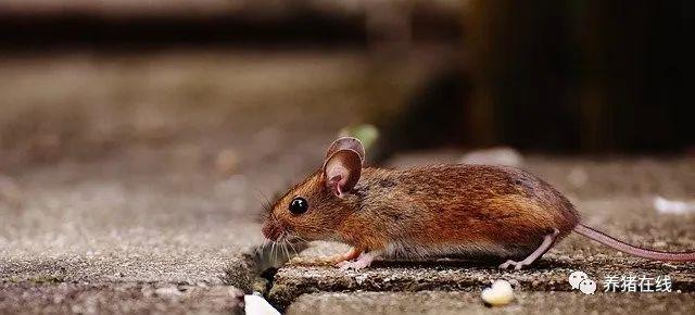 老鼠给猪场造成的危害太多,养猪场怎么灭鼠?