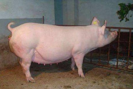 母猪保健必走这三步,否则将毫无意义!