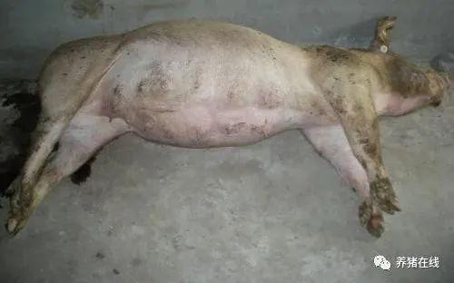 母猪胀气如何解决?胀气的原因以及防治方法